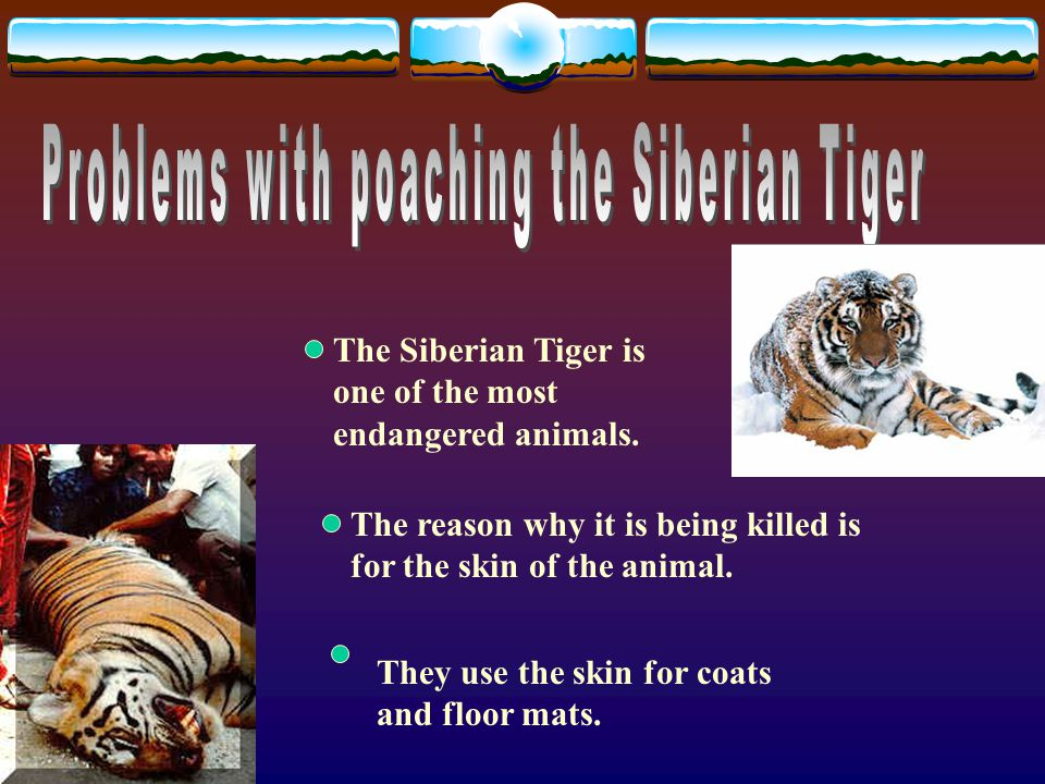 The Siberian Tiger is one of the most endangered animals.