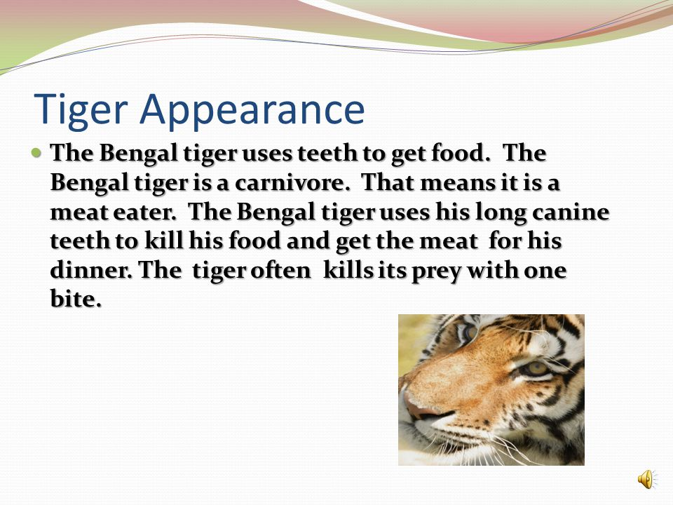 Tiger Appearance The Bengal tiger uses teeth to get food.