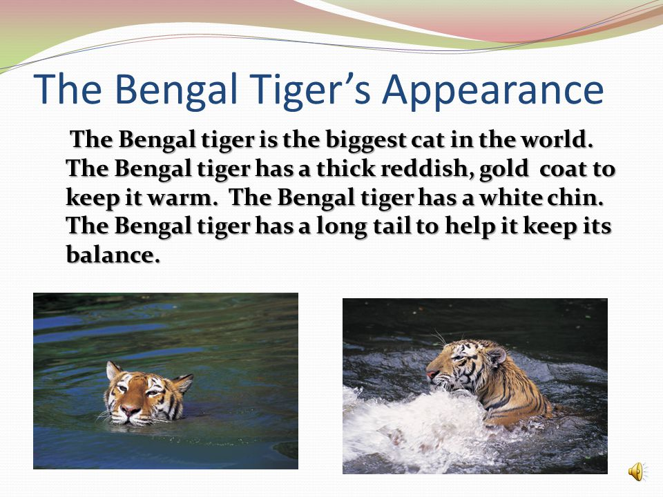 The Bengal Tiger's Appearance The Bengal tiger is the biggest cat in the world.