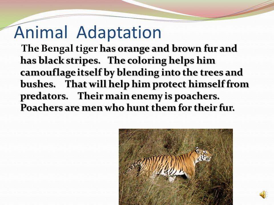 Animal Adaptation has orange and brown fur and has black stripes.