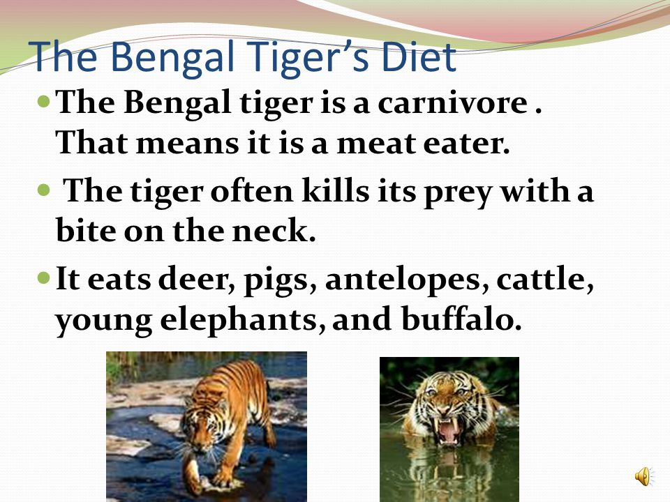 The Bengal Tiger's Diet The Bengal tiger is a carnivore.