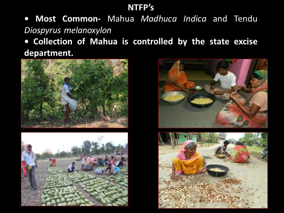 NTFP's Most Common- Mahua Madhuca Indica and Tendu Diospyrus melanoxylon Collection of Mahua is controlled by the state excise department.