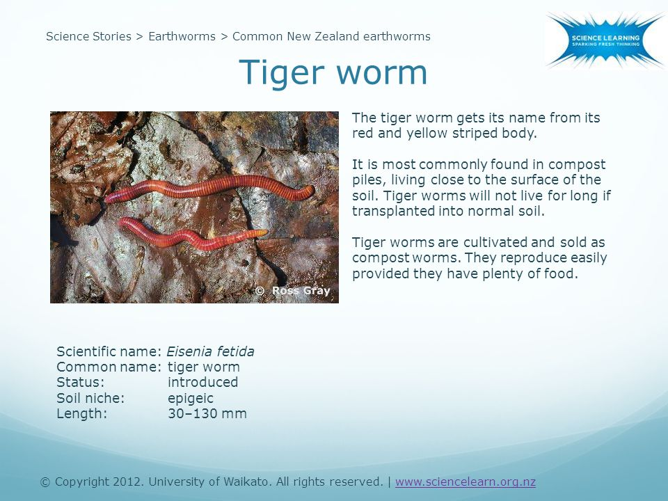 Scientific name: Eisenia fetida Common name:tiger worm Status:introduced Soil niche:epigeic Length:30–130 mm The tiger worm gets its name from its red and yellow striped body.