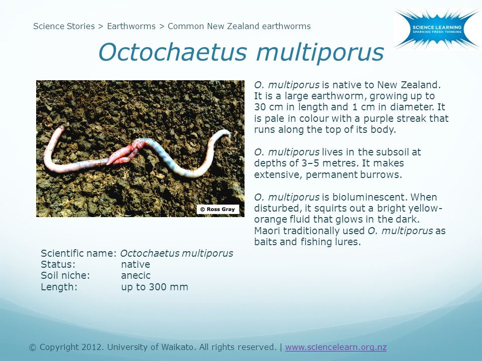 Scientific name: Octochaetus multiporus Status:native Soil niche:anecic Length:up to 300 mm O.