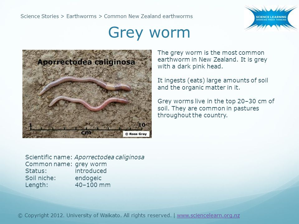 Scientific name: Aporrectodea caliginosa Common name:grey worm Status:introduced Soil niche:endogeic Length:40–100 mm The grey worm is the most common earthworm in New Zealand.