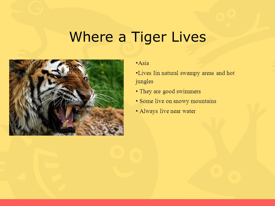 What a Tiger Eats They eat meat like wild pigs They also eat birds, cows, monkeys, lizards, crocodiles, and small elephants They are carnivores