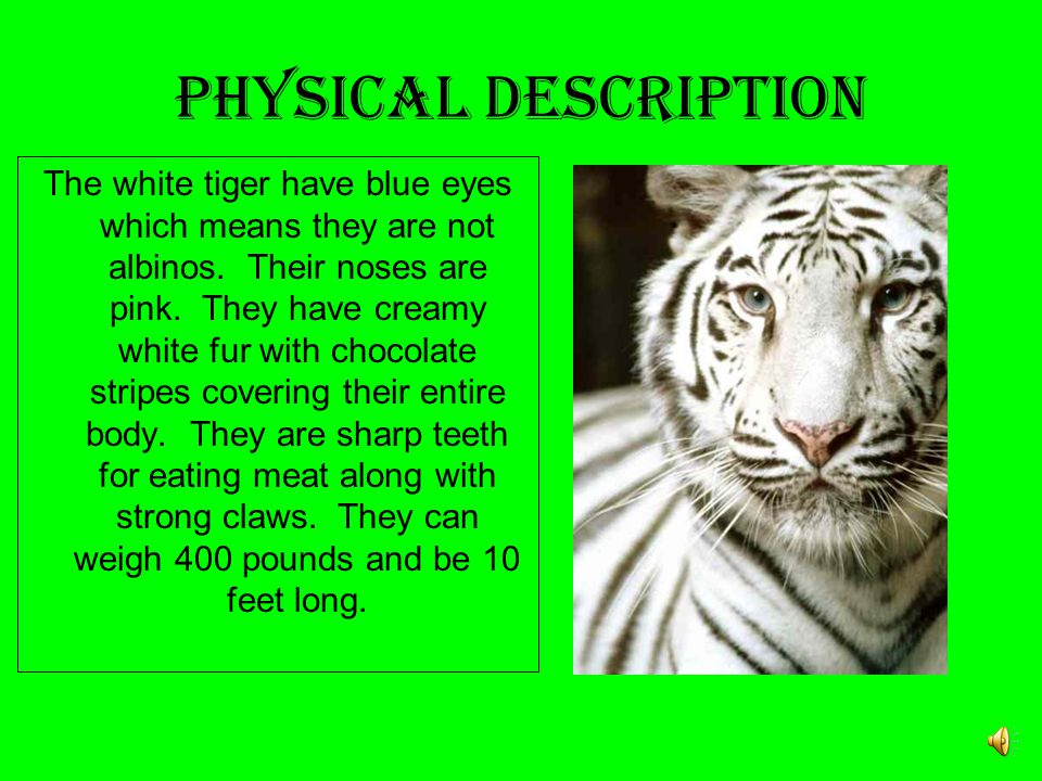 White Tiger JOSE ZAPATA