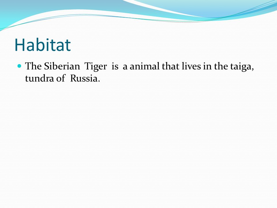 Habitat The Siberian Tiger is a animal that lives in the taiga, tundra of Russia.