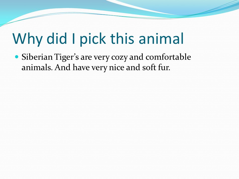 Why did I pick this animal Siberian Tiger's are very cozy and comfortable animals.