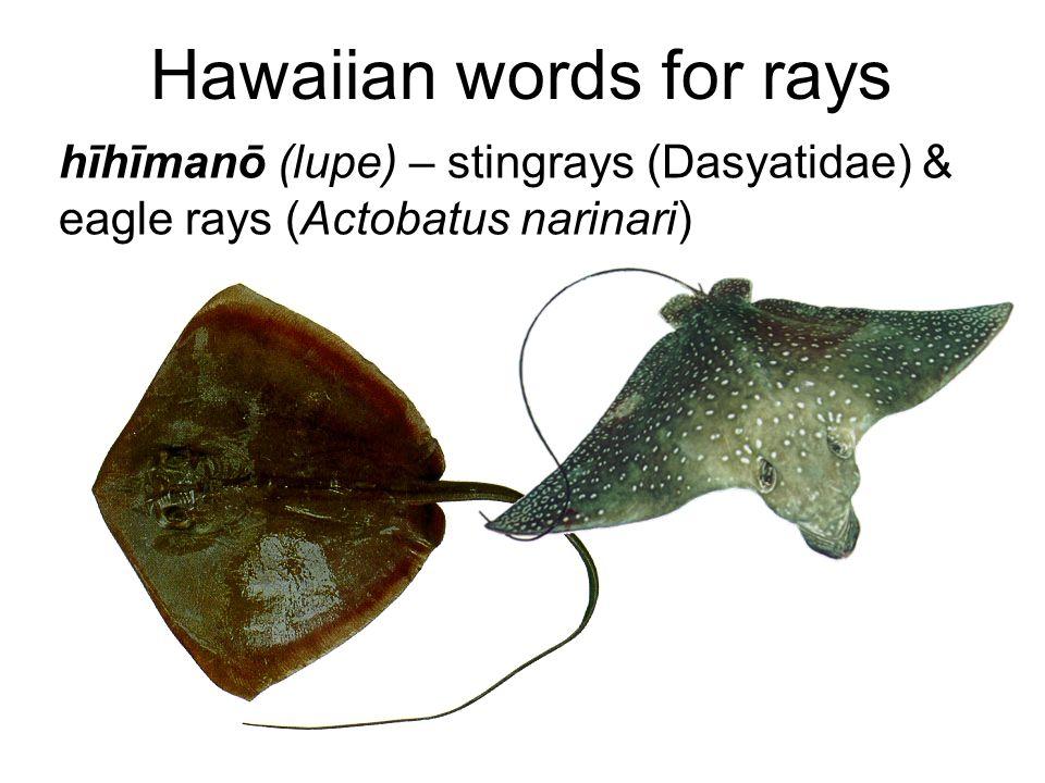 Hawaiian words for rays hīhīmanō (lupe) – stingrays (Dasyatidae) & eagle rays (Actobatus narinari)