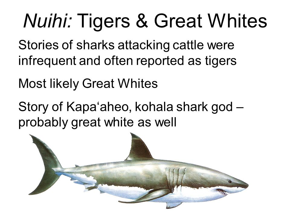 Nuihi: Tigers & Great Whites Stories of sharks attacking cattle were infrequent and often reported as tigers Most likely Great Whites Story of Kapa'aheo, kohala shark god – probably great white as well