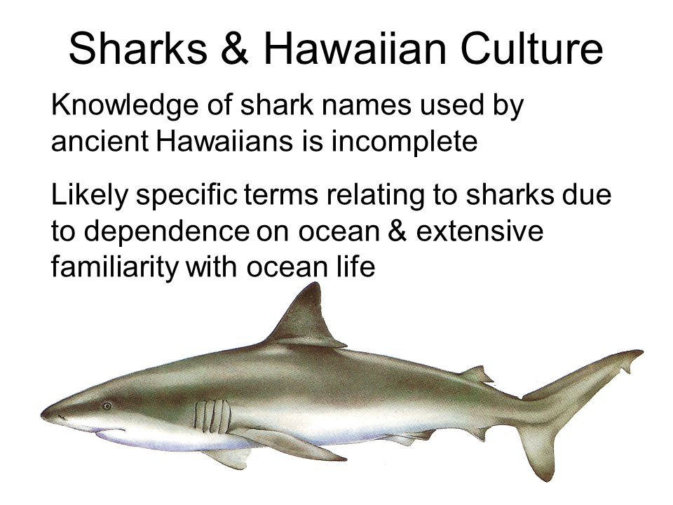 Sharks & Hawaiian Culture Knowledge of shark names used by ancient Hawaiians is incomplete Likely specific terms relating to sharks due to dependence on ocean & extensive familiarity with ocean life