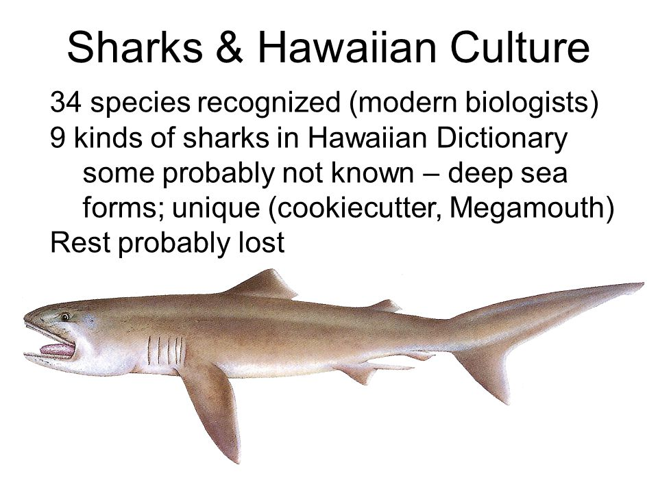 Sharks & Hawaiian Culture 34 species recognized (modern biologists) 9 kinds of sharks in Hawaiian Dictionary some probably not known – deep sea forms; unique (cookiecutter, Megamouth) Rest probably lost