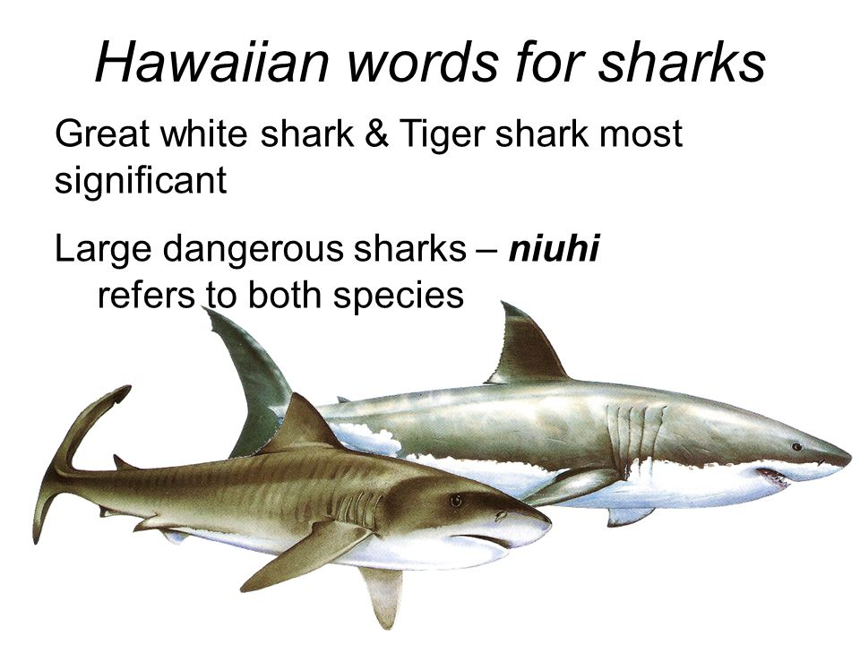 Hawaiian words for sharks Great white shark & Tiger shark most significant Large dangerous sharks – niuhi refers to both species