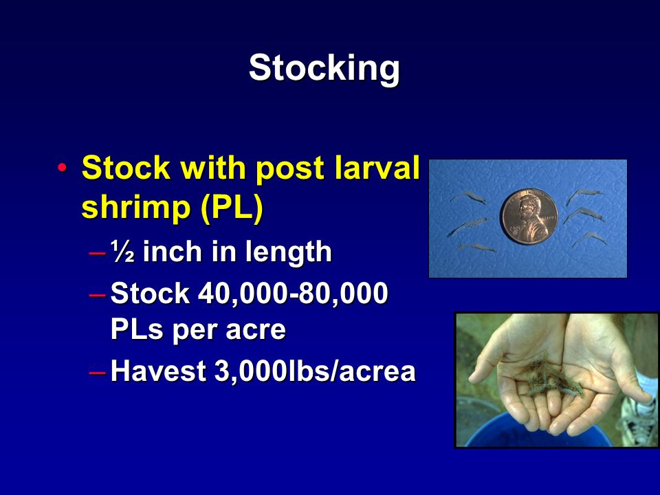 Stocking Stock with post larval shrimp (PL)Stock with post larval shrimp (PL) –½ inch in length –Stock 40,000-80,000 PLs per acre –Havest 3,000lbs/acrea