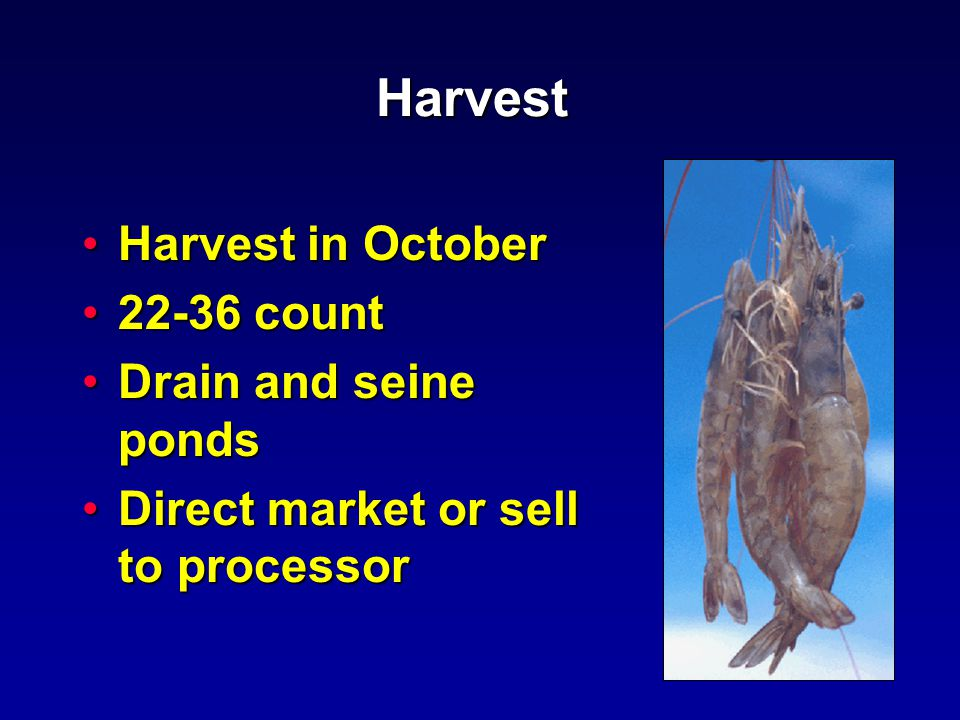 Harvest Harvest in OctoberHarvest in October 22-36 count22-36 count Drain and seine pondsDrain and seine ponds Direct market or sell to processorDirect market or sell to processor