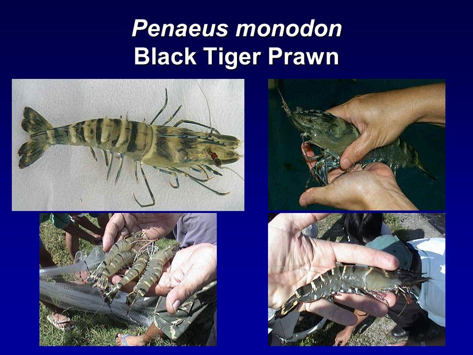 Penaeus monodon Black Tiger Prawn