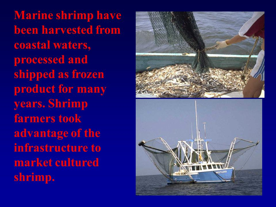 Marine shrimp have been harvested from coastal waters, processed and shipped as frozen product for many years.