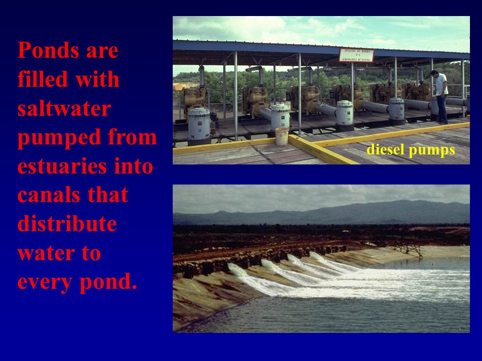 Ponds are filled with saltwater pumped from estuaries into canals that distribute water to every pond.