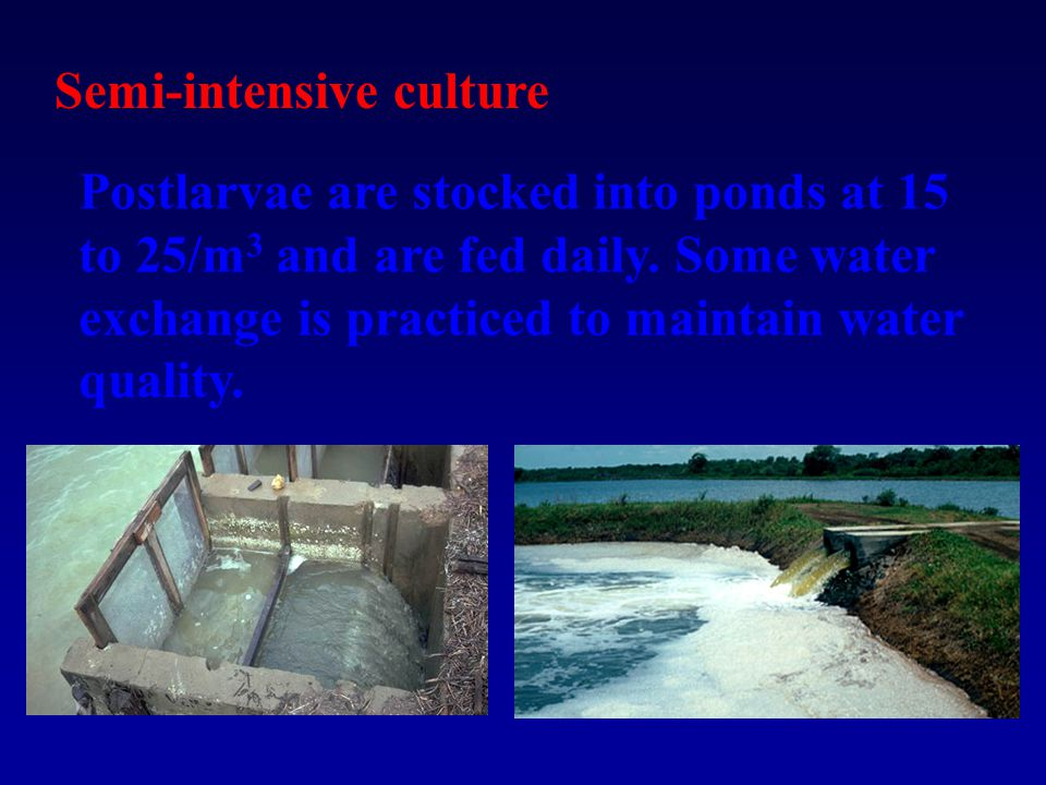 Semi-intensive culture Postlarvae are stocked into ponds at 15 to 25/m 3 and are fed daily.