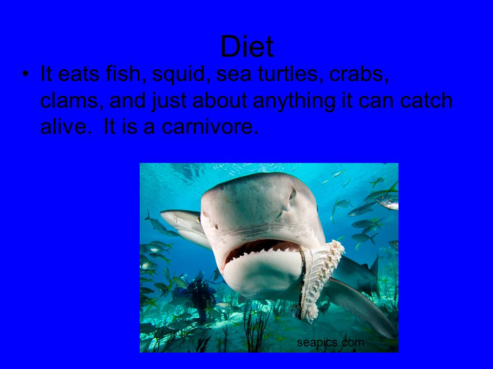 Diet It eats fish, squid, sea turtles, crabs, clams, and just about anything it can catch alive. It is a carnivore. seapics.com