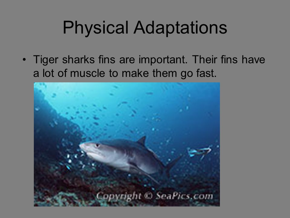 Physical Adaptations Tiger sharks fins are important. Their fins have a lot of muscle to make them go fast.