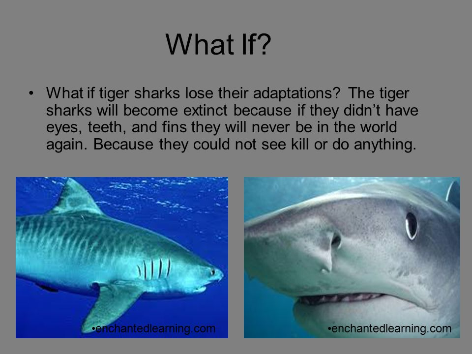 What If? What if tiger sharks lose their adaptations? The tiger sharks will become extinct because if they didn't have eyes, teeth, and fins they will