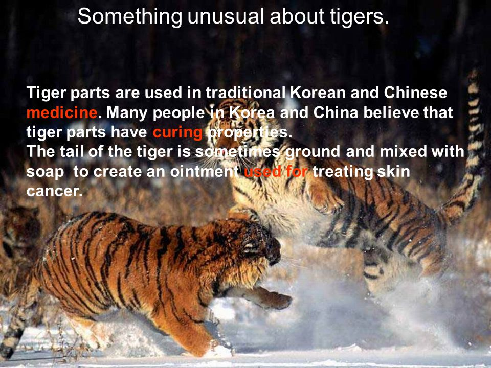 Something unusual about tigers. Tiger parts are used in traditional Korean and Chinese medicine. Many people in Korea and China believe that tiger par