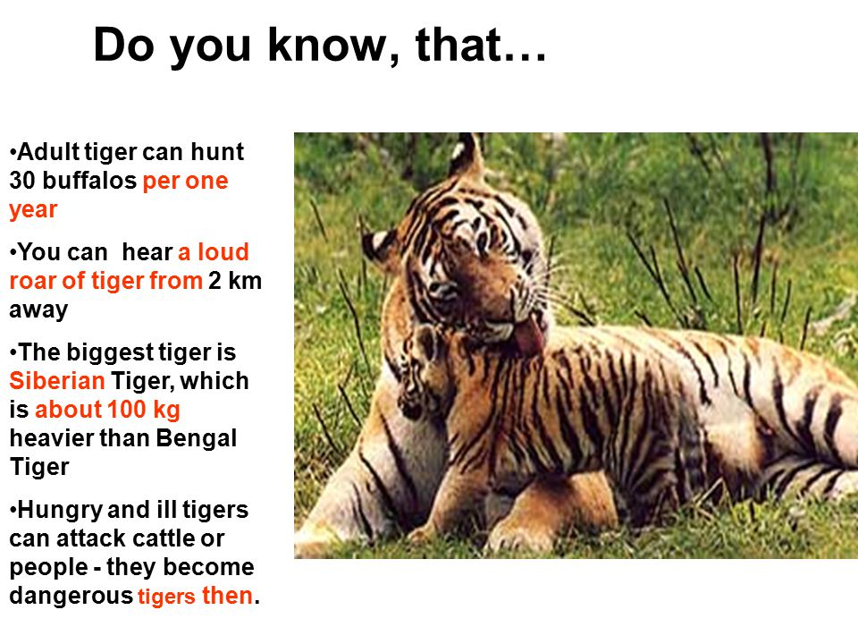 Do you know, that…. Adult tiger can hunt 30 buffalos per one year You can hear a loud roar of tiger from 2 km away The biggest tiger is Siberian Tiger