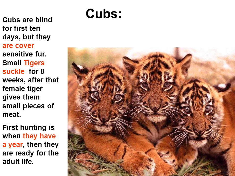 Cubs: Cubs are blind for first ten days, but they are cover sensitive fur. Small Tigers suckle for 8 weeks, after that female tiger gives them small p