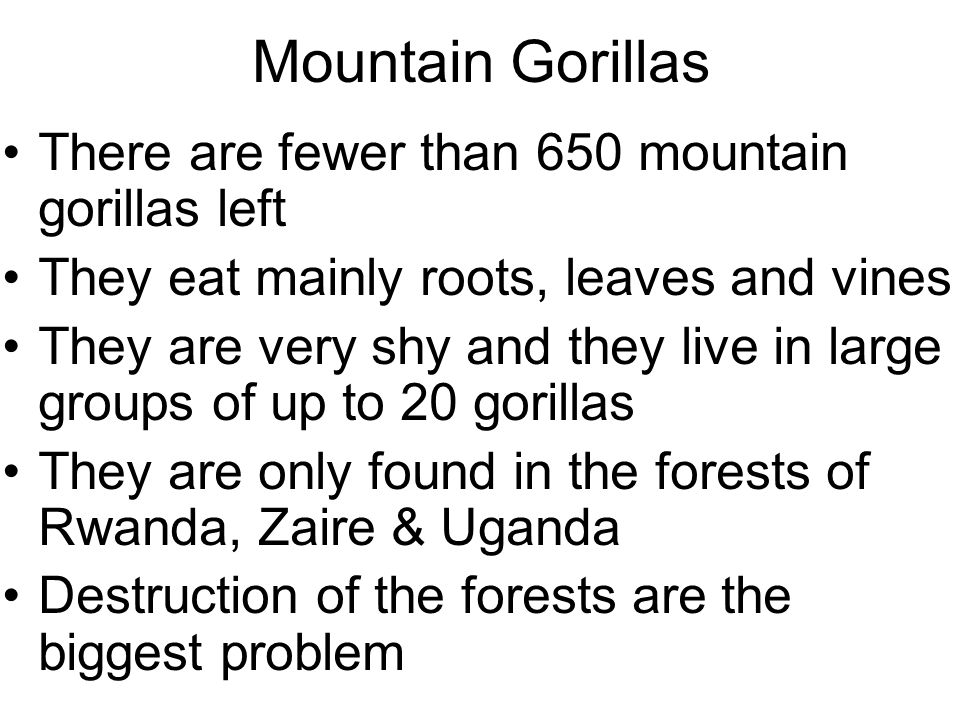 Mountain Gorillas There are fewer than 650 mountain gorillas left They eat mainly roots, leaves and vines They are very shy and they live in large groups of up to 20 gorillas They are only found in the forests of Rwanda, Zaire & Uganda Destruction of the forests are the biggest problem