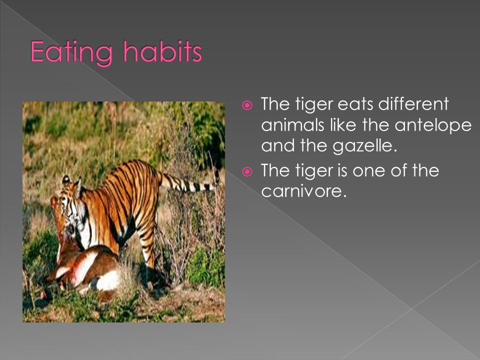  The tiger eats different animals like the antelope and the gazelle.