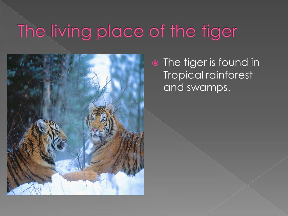  The tiger is found in Tropical rainforest and swamps.
