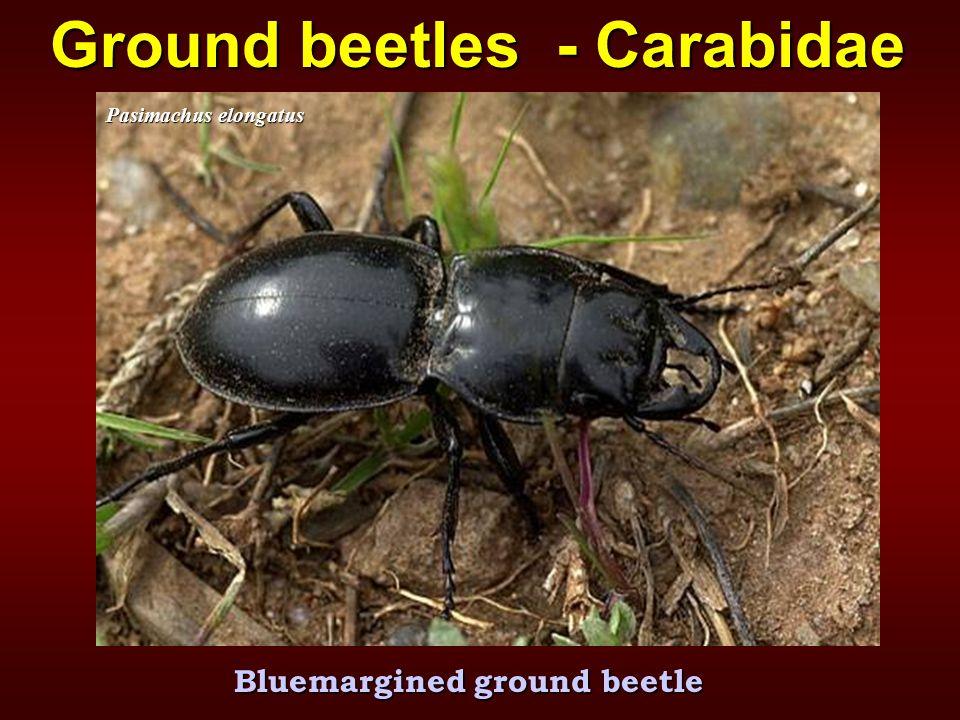 Bluemargined ground beetle Pasimachus elongatus Ground beetles - Carabidae