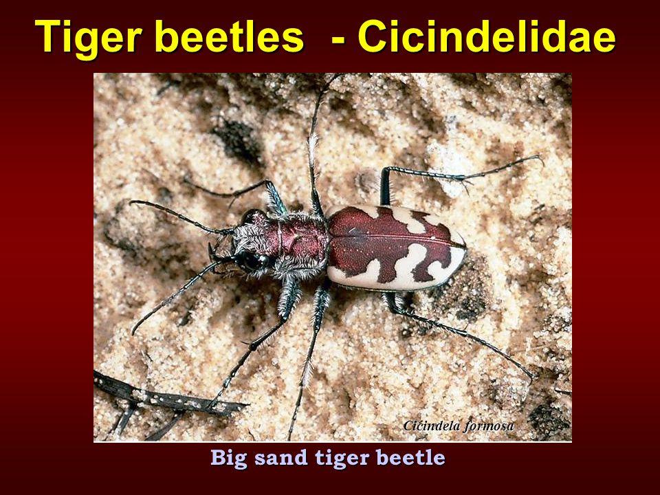 Big sand tiger beetle Tiger beetles - Cicindelidae Cicindela formosa