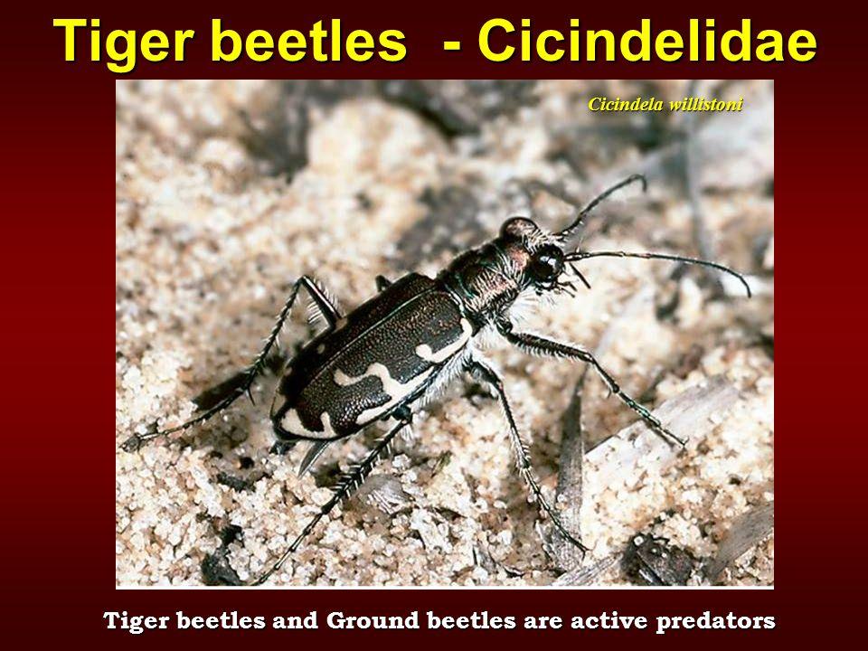 Cicindela willistoni Tiger beetles - Cicindelidae Tiger beetles and Ground beetles are active predators