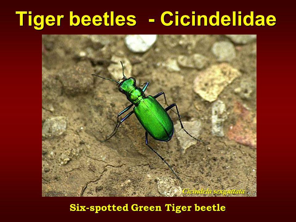 Cicindela sexguttata Six-spotted Green Tiger beetle Tiger beetles - Cicindelidae