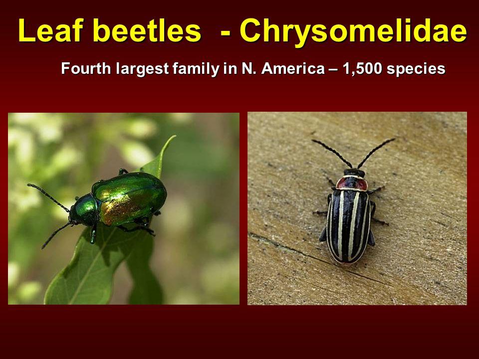 Leaf beetles - Chrysomelidae Fourth largest family in N. America – 1,500 species