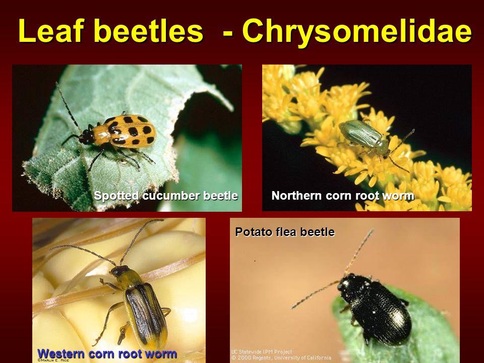 Leaf beetles - Chrysomelidae Potato flea beetle Northern corn root worm Western corn root worm Spotted cucumber beetle