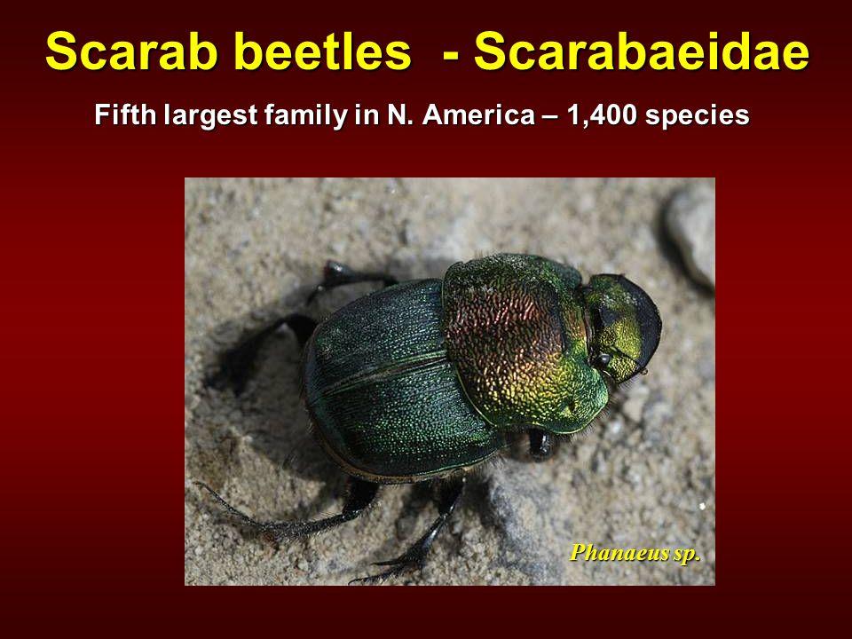 Phanaeus sp. Scarab beetles - Scarabaeidae Fifth largest family in N. America – 1,400 species