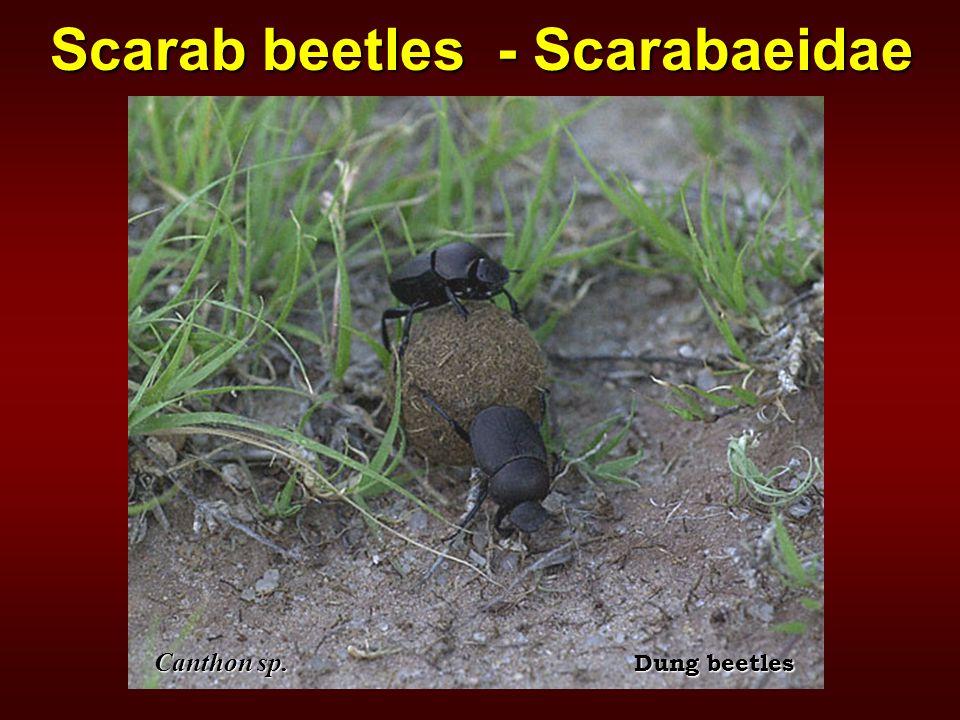 Scarab beetles - Scarabaeidae Canthon sp. Dung beetles