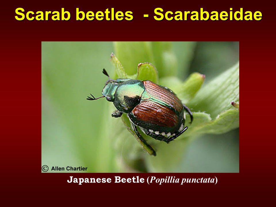 Japanese Beetle (Popillia punctata) Scarab beetles - Scarabaeidae