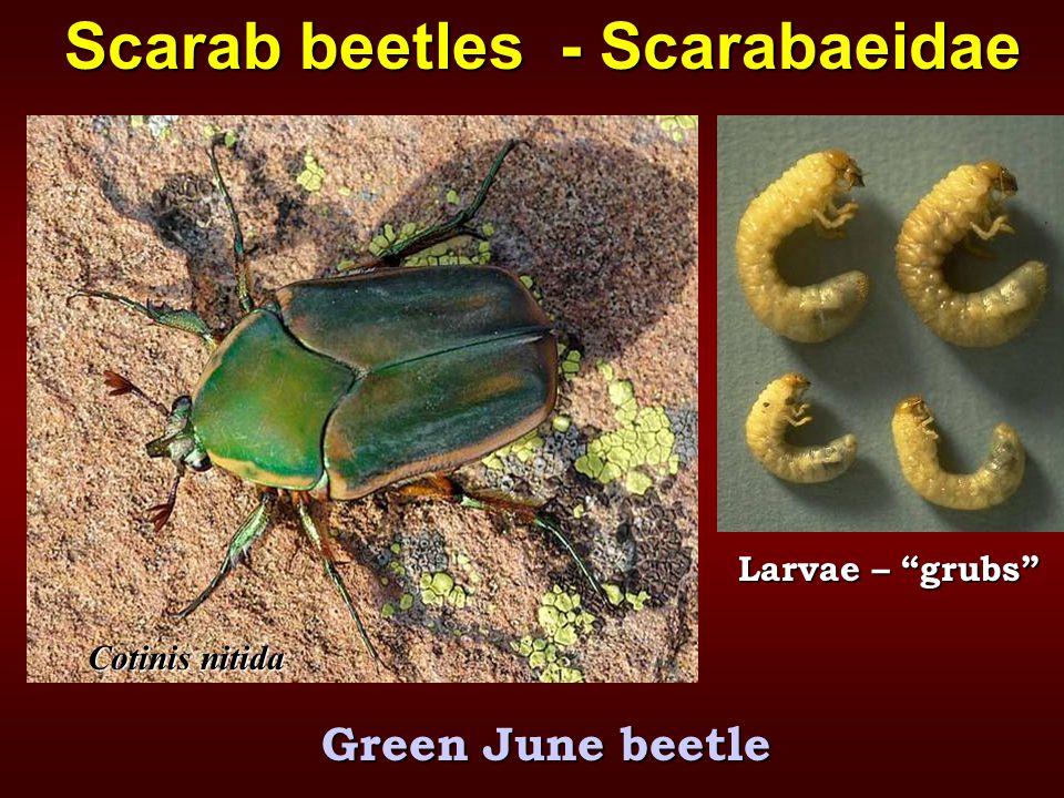 Cotinis nitida Scarab beetles - Scarabaeidae Green June beetle Larvae – grubs