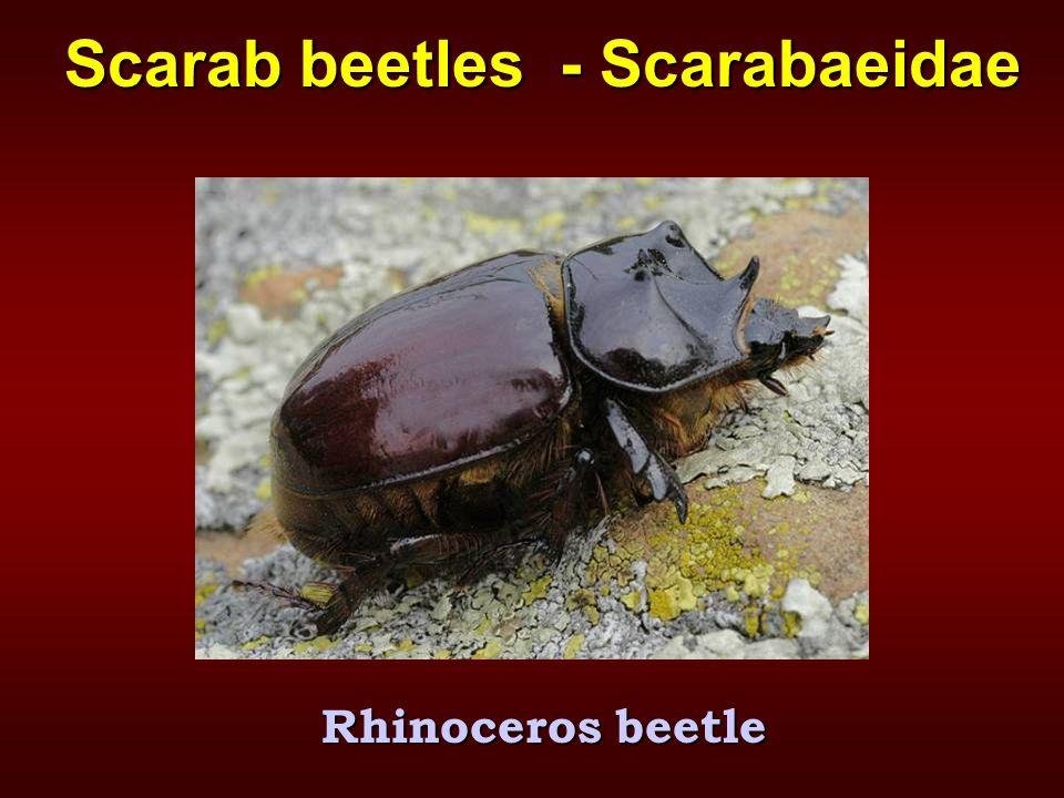Scarab beetles - Scarabaeidae Rhinoceros beetle