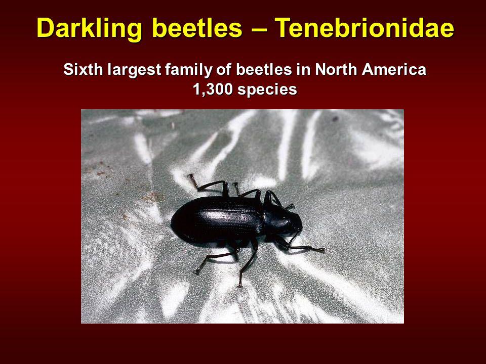 Darkling beetles – Tenebrionidae Sixth largest family of beetles in North America 1,300 species