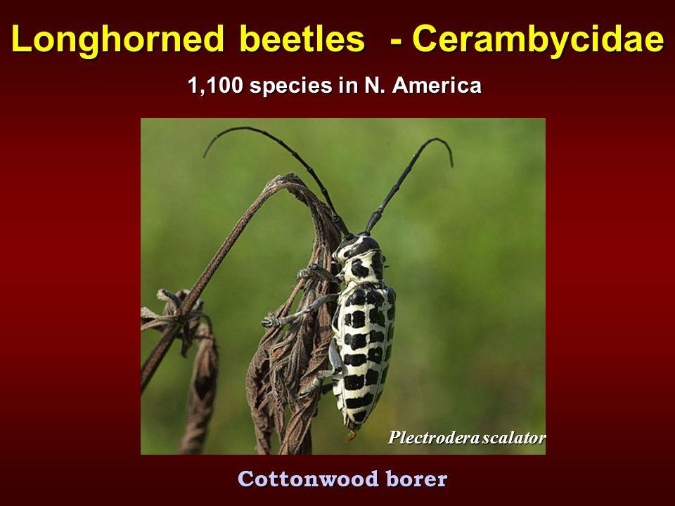 Longhorned beetles - Cerambycidae Plectrodera scalator Cottonwood borer 1,100 species in N. America