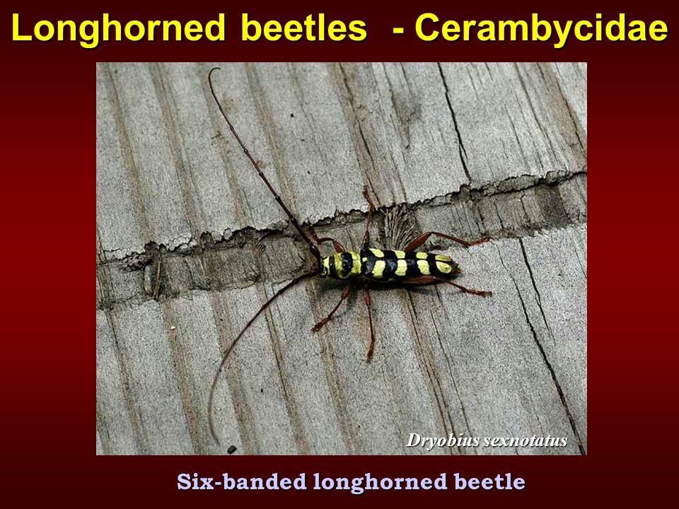 Dryobius sexnotatus Longhorned beetles - Cerambycidae Six-banded longhorned beetle