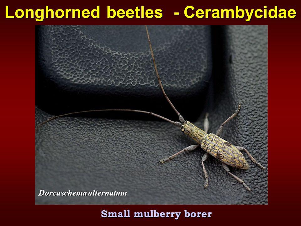 Small mulberry borer Longhorned beetles - Cerambycidae Dorcaschema alternatum