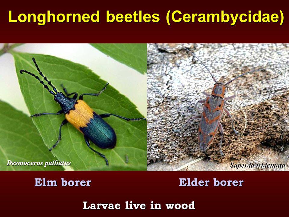 Longhorned beetles (Cerambycidae) Elm borerElder borer Larvae live in wood Saperda tridentata Desmocerus palliatus