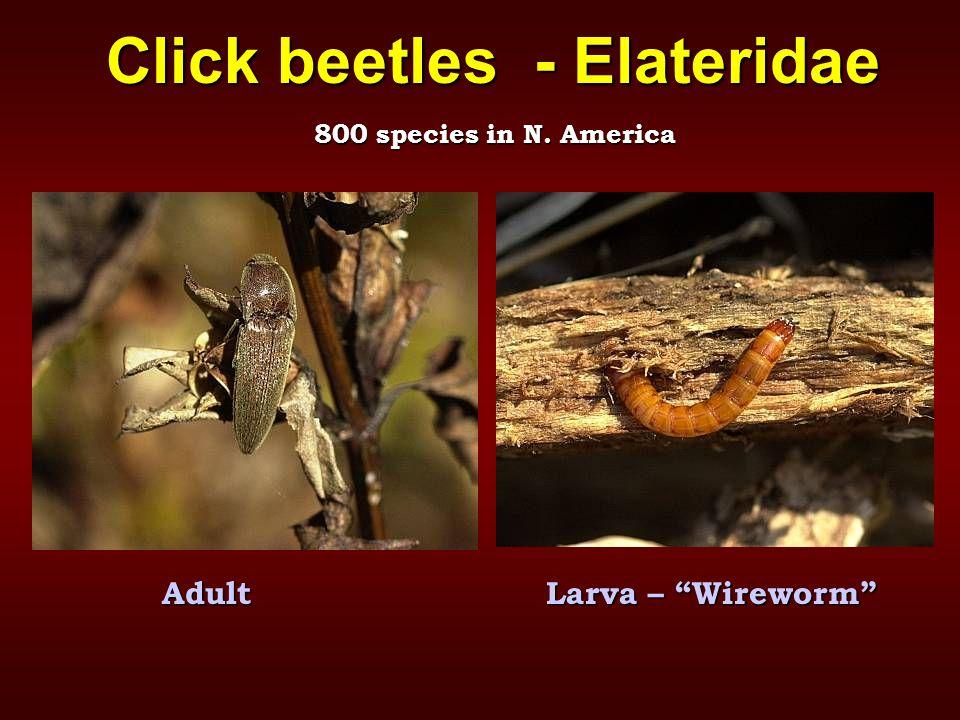 """Click beetles - Elateridae AdultLarva – """"Wireworm"""" 800 species in N. America"""
